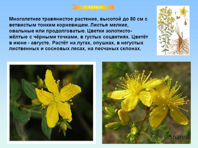 Многолетнее травянистое растение, высотой до 80 см с ветвистым тонким корневищем. Листья мелкие, овальные или продолговатые. Цветки золотисто- жёлтые с чёрными точками, в густых соцветиях. Цветёт в июне - августе. Растёт на лугах, опушках, в негустых