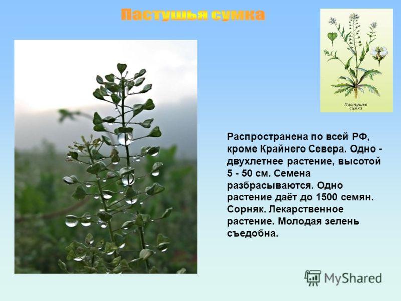 Распространена по всей РФ, кроме Крайнего Севера. Одно - двухлетнее растение, высотой 5 - 50 см. Семена разбрасываются. Одно растение даёт до 1500 семян. Сорняк. Лекарственное растение. Молодая зелень съедобна.