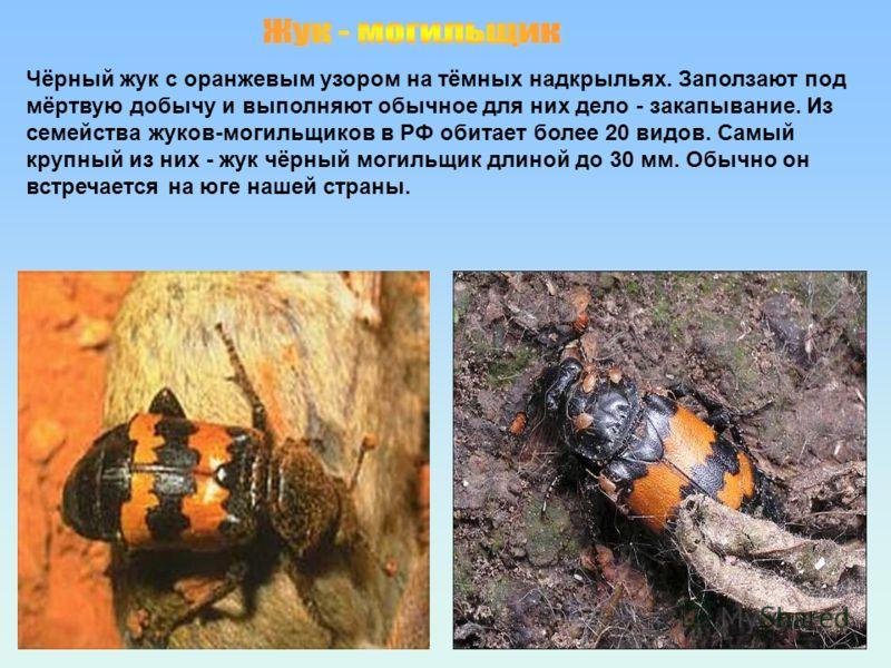 Чёрный жук с оранжевым узором на тёмных надкрыльях. Заползают под мёртвую добычу и выполняют обычное для них дело - закапывание. Из семейства жуков-могильщиков в РФ обитает более 20 видов. Самый крупный из них - жук чёрный могильщик длиной до 30 мм.