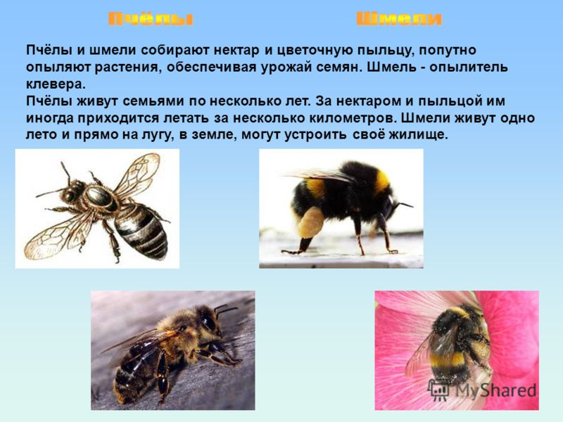 Пчёлы и шмели собирают нектар и цветочную пыльцу, попутно опыляют растения, обеспечивая урожай семян. Шмель - опылитель клевера. Пчёлы живут семьями по несколько лет. За нектаром и пыльцой им иногда приходится летать за несколько километров. Шмели жи