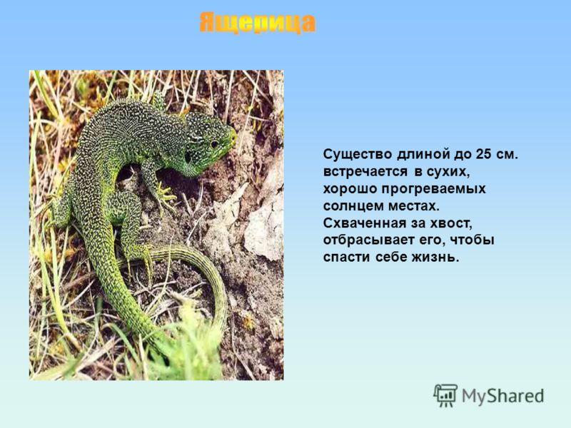 Существо длиной до 25 см. встречается в сухих, хорошо прогреваемых солнцем местах. Схваченная за хвост, отбрасывает его, чтобы спасти себе жизнь.