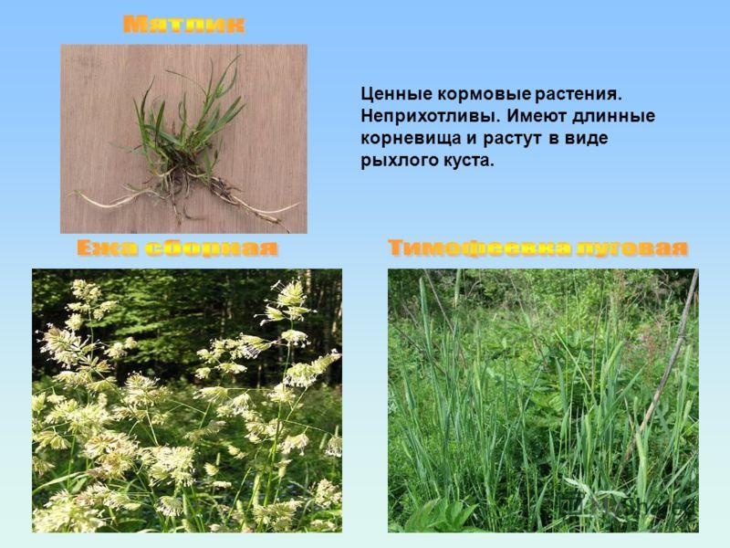 Ценные кормовые растения. Неприхотливы. Имеют длинные корневища и растут в виде рыхлого куста.