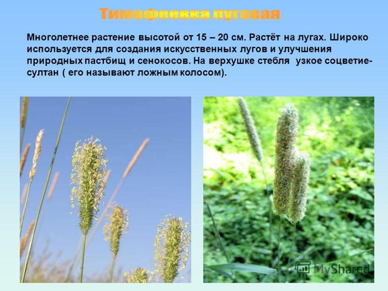 Многолетнее растение высотой от 15 – 20 см. Растёт на лугах. Широко используется для создания искусственных лугов и улучшения природных пастбищ и сенокосов. На верхушке стебля узкое соцветие- султан ( его называют ложным колосом).
