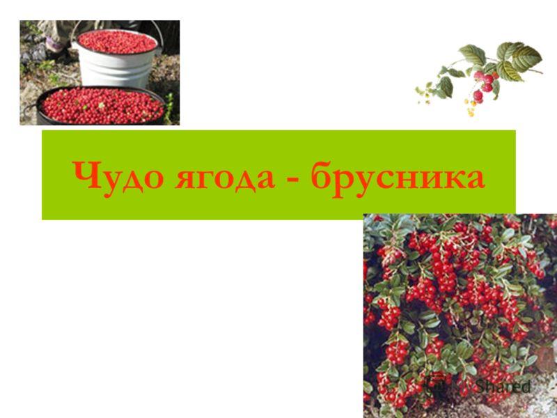 Чудо ягода - брусника