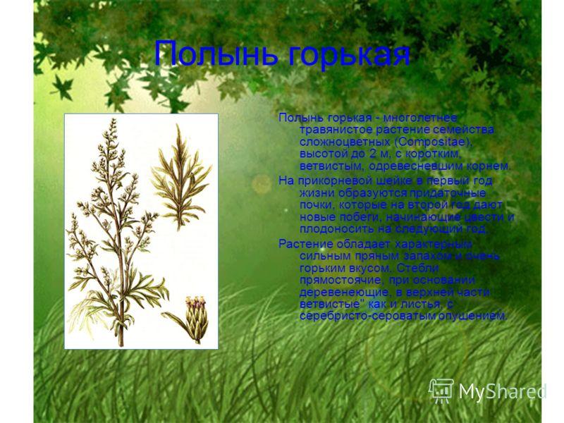 Полынь горькая Полынь горькая - многолетнее травянистое растение семейства сложноцветных (Compositae), высотой до 2 м, с коротким, ветвистым, одревесневшим корнем. На прикорневой шейке в первый год жизни образуются придаточные почки, которые на второ