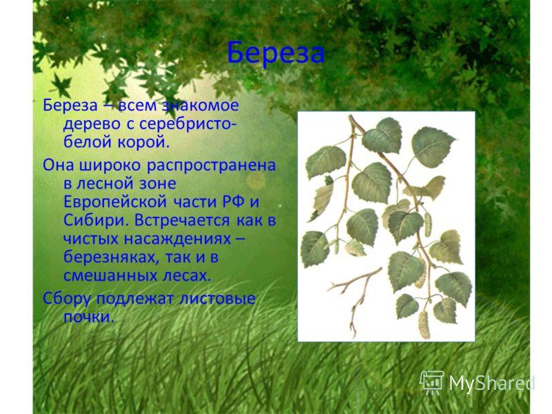 Береза Береза – всем знакомое дерево с серебристо- белой корой. Она широко распространена в лесной зоне Европейской части РФ и Сибири. Встречается как в чистых насаждениях – березняках, так и в смешанных лесах. Сбору подлежат листовые почки.