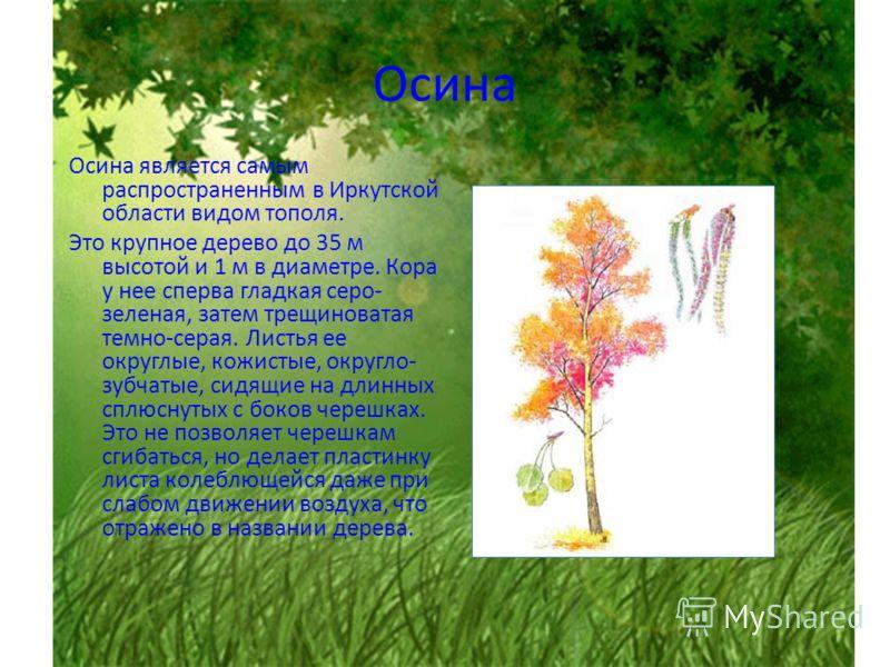 Осина Осина является самым распространенным в Иркутской области видом тополя. Это крупное дерево до 35 м высотой и 1 м в диаметре. Кора у нее сперва гладкая серо- зеленая, затем трещиноватая темно-серая. Листья ее округлые, кожистые, округло- зубчаты