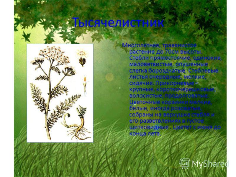 Тысячелистник Многолетнее, травянистое растение до 70см высоты. Стебли прямостоячие, одинокие, маловетвистые, опушенные слегка бороздчатые. Стеблевые листья очередные, мелкие, сидячие. Прикорневые – крупные, короткочерешковые, волосистые, продолговат