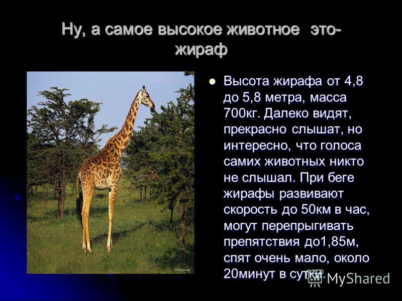 Ну, а самое высокое животное это- жираф Высота жирафа от 4,8 до 5,8 метра, масса 700кг. Далеко видят, прекрасно слышат, но интересно, что голоса самих животных никто не слышал. При беге жирафы развивают скорость до 50км в час, могут перепрыгивать пре