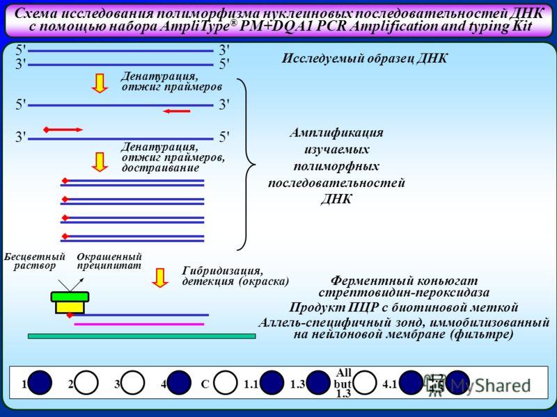 Схема исследования полиморфизма нуклеиновых последовательностей ДНК с помощью набора AmpliType ® PM+DQA1 PCR Amplification and typing Kit 5' 3' 3' 5' 5' 3' 3' 5' 1 2 3 4 C 1.1 1.3 but 4.1 Исследуемый образец ДНК Денатурация, отжиг праймеров Денатурац