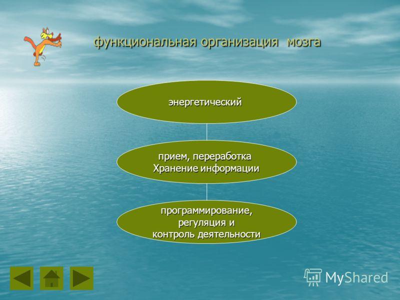 функциональная организация мозга функциональная организация мозга программирование, регуляция и регуляция и контроль деятельности прием, переработка Хранение информации энергетический