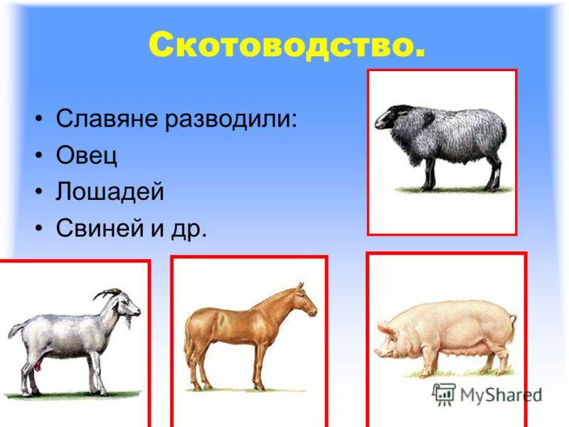 Скотоводство. Славяне разводили: Овец Лошадей Свиней и др.