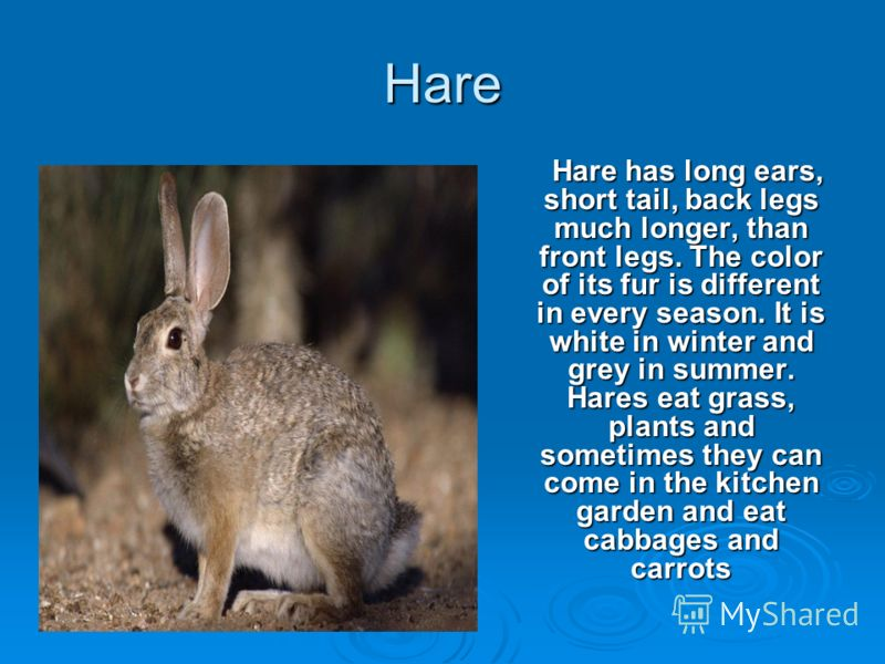 Hare Hare has long ears, short tail, back legs much longer, than front legs. The color of its fur is different in every season. It is white in winter and grey in summer. Hares eat grass, plants and sometimes they can come in the kitchen garden and ea