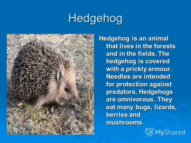 Hedgehog Hedgehog is an animal that lives in the forests and in the fields. The hedgehog is covered with a prickly armour. Needles are intended for protection against predators. Hedgehogs are omnivorous. They eat many bugs, lizards, berries and mushr