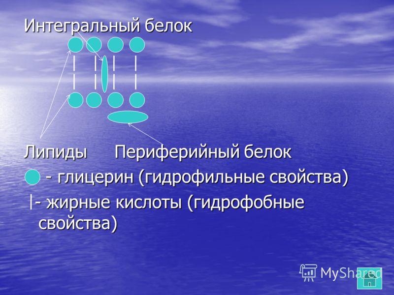 Интегральный белок Липиды Периферийный белок - глицерин (гидрофильные свойства) - глицерин (гидрофильные свойства) - жирные кислоты (гидрофобные свойства) - жирные кислоты (гидрофобные свойства)