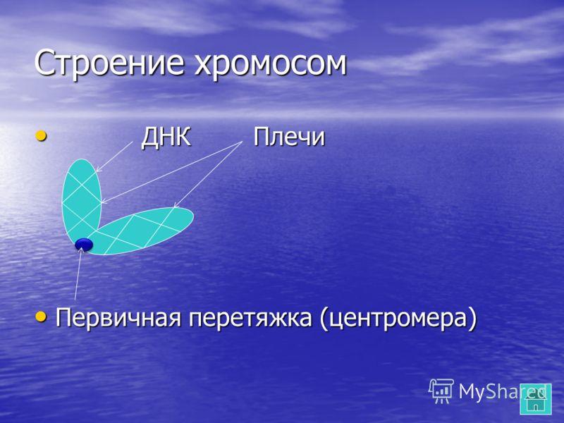 Строение хромосом ДНК Плечи ДНК Плечи Первичная перетяжка (центромера) Первичная перетяжка (центромера)