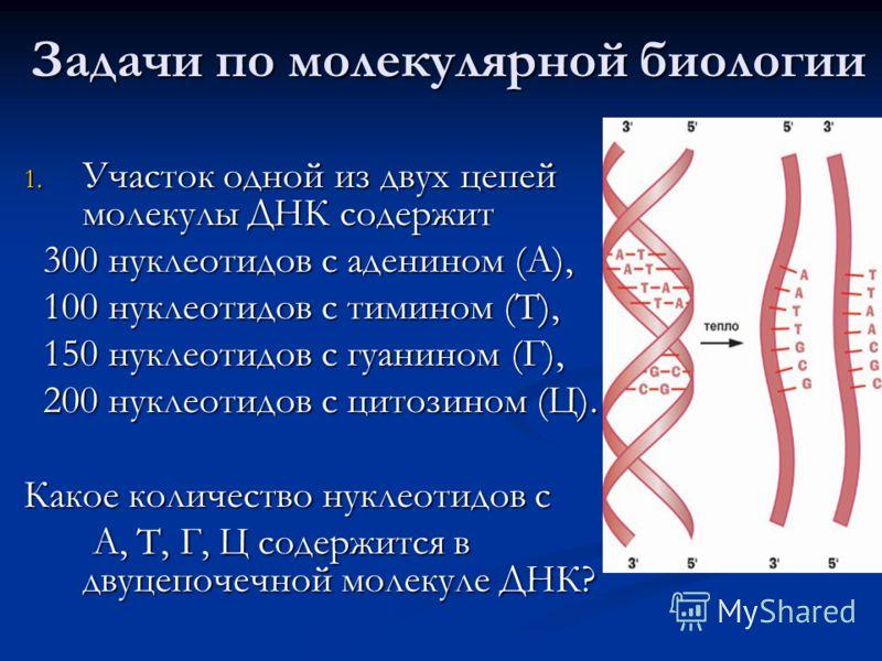 Задачи по молекулярной биологии 1. Участок одной из двух цепей молекулы ДНК содержит 300 нуклеотидов с аденином (А), 300 нуклеотидов с аденином (А), 100 нуклеотидов с тимином (Т), 100 нуклеотидов с тимином (Т), 150 нуклеотидов с гуанином (Г), 150 нук