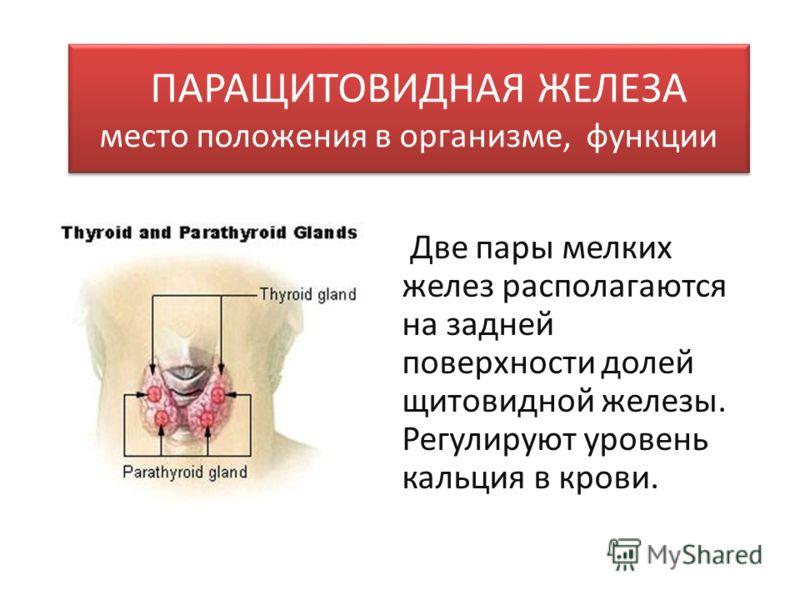 ПАРАЩИТОВИДНАЯ ЖЕЛЕЗА место положения в организме, функции Две пары мелких желез располагаются на задней поверхности долей щитовидной железы. Регулируют уровень кальция в крови.