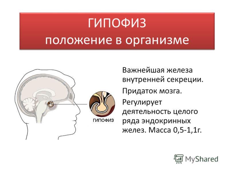 ГИПОФИЗ положение в организме Важнейшая железа внутренней секреции. Придаток мозга. Регулирует деятельность целого ряда эндокринных желез. Масса 0,5-1,1г.