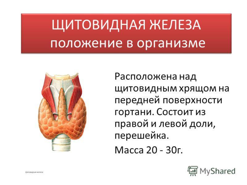 ЩИТОВИДНАЯ ЖЕЛЕЗА положение в организме Расположена над щитовидным хрящом на передней поверхности гортани. Состоит из правой и левой доли, перешейка. Масса 20 - 30г.