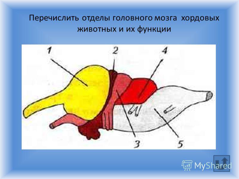 Перечислить отделы головного мозга хордовых животных и их функции