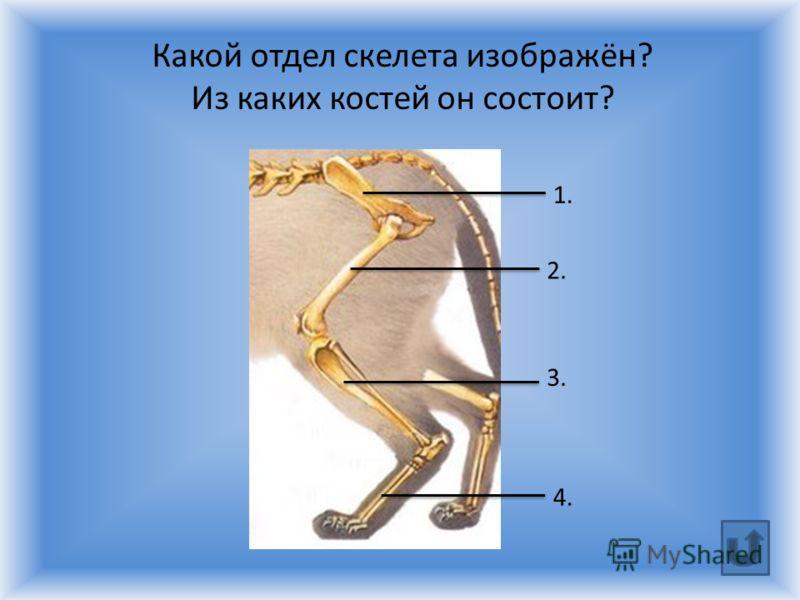 1. 2. 3. 4. Какой отдел скелета изображён? Из каких костей он состоит?
