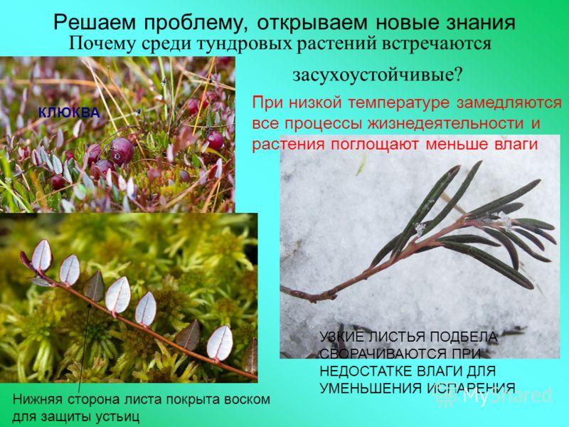 Решаем проблему, открываем новые знания Почему среди тундровых растений встречаются засухоустойчивые? Нижняя сторона листа покрыта воском для защиты устьиц КЛЮКВА УЗКИЕ ЛИСТЬЯ ПОДБЕЛА СВОРАЧИВАЮТСЯ ПРИ НЕДОСТАТКЕ ВЛАГИ ДЛЯ УМЕНЬШЕНИЯ ИСПАРЕНИЯ При ни