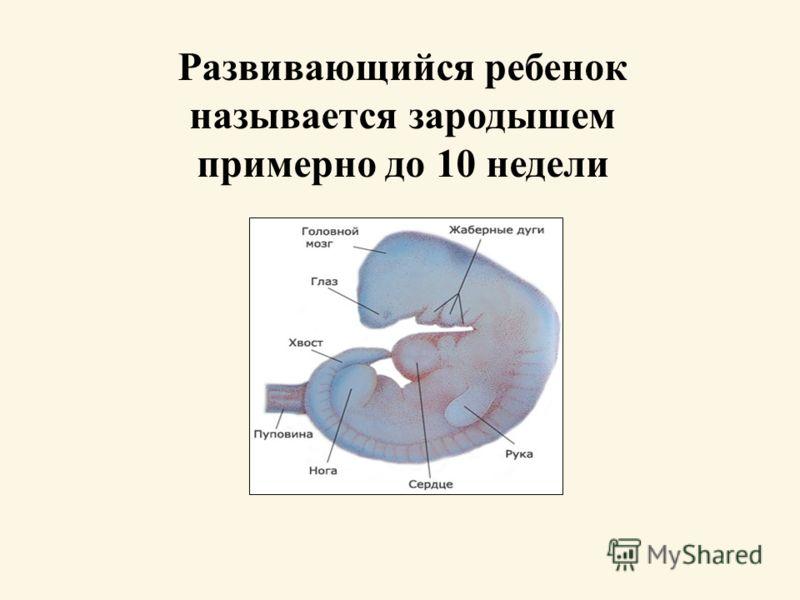 Развивающийся ребенок называется зародышем примерно до 10 недели