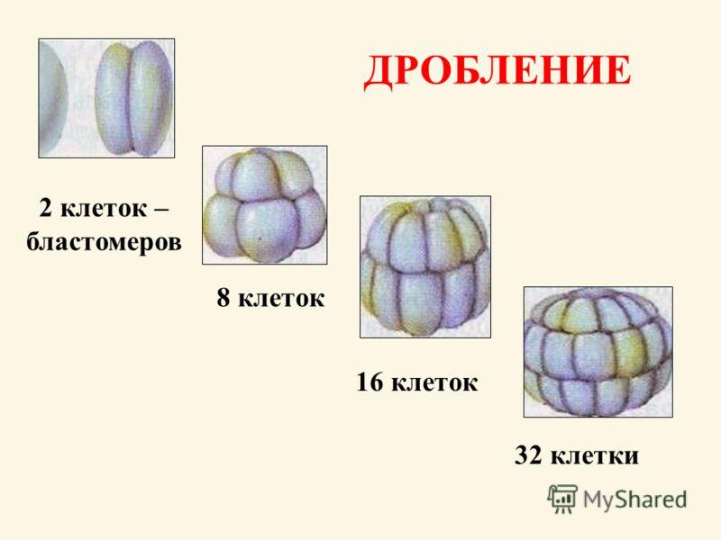 2 клеток – бластомеров 8 клеток 16 клеток 32 клетки ДРОБЛЕНИЕ