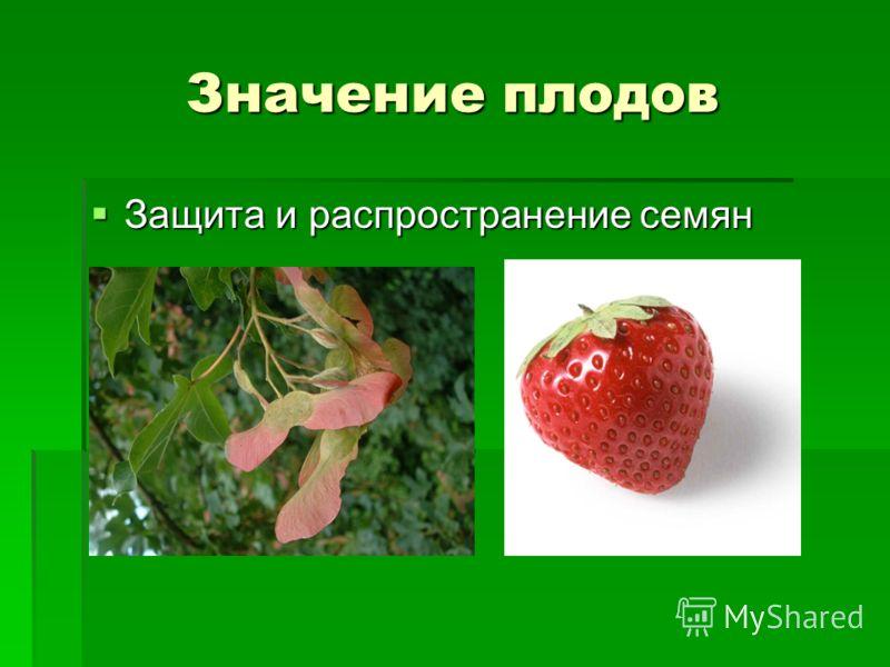 Значение плодов Защита и распространение семян Защита и распространение семян