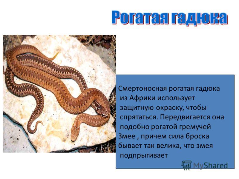 Смертоносная рогатая гадюка из Африки использует защитную окраску, чтобы спрятаться. Передвигается она подобно рогатой гремучей Змее, причем сила броска бывает так велика, что змея подпрыгивает