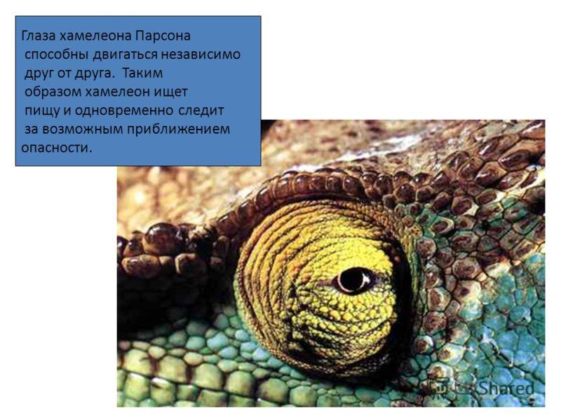 Глаза хамелеона Парсона способны двигаться независимо друг от друга. Таким образом хамелеон ищет пищу и одновременно следит за возможным приближением опасности.