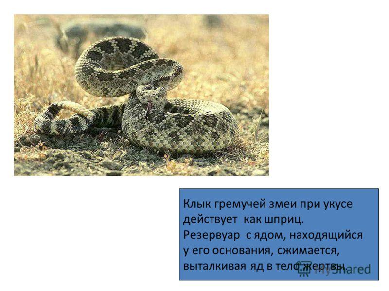 Клык гремучей змеи при укусе действует как шприц. Резервуар с ядом, находящийся у его основания, сжимается, выталкивая яд в тело жертвы.