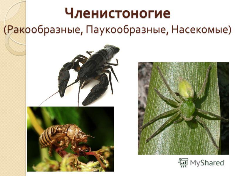 Членистоногие ( Ракообразные, Паукообразные, Насекомые )