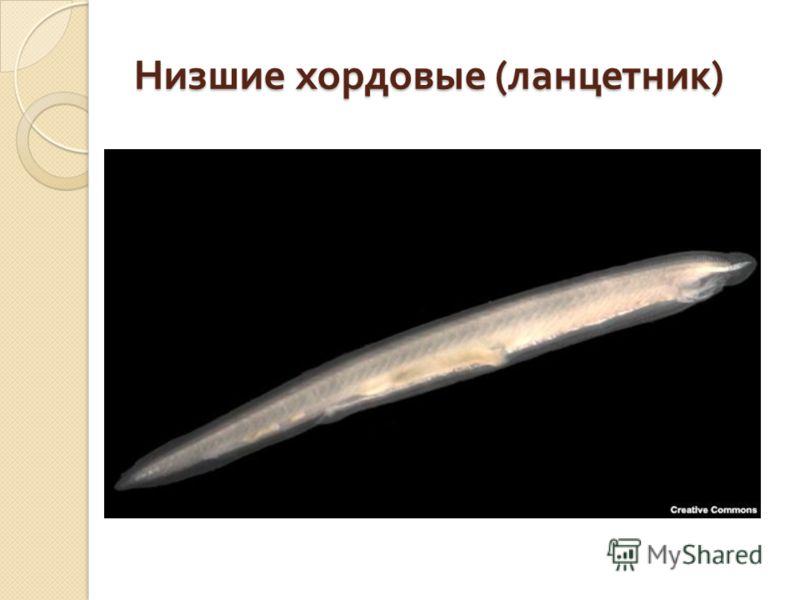 Низшие хордовые ( ланцетник )