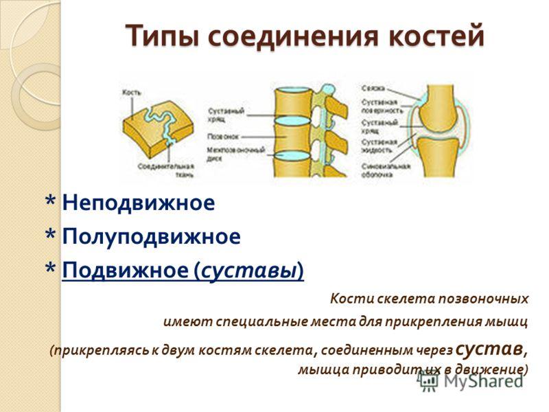 Типы соединения костей * Неподвижное * Полуподвижное * Подвижное ( суставы ) Кости скелета позвоночных имеют специальные места для прикрепления мышц ( прикрепляясь к двум костям скелета, соединенным через сустав, мышца приводит их в движение )