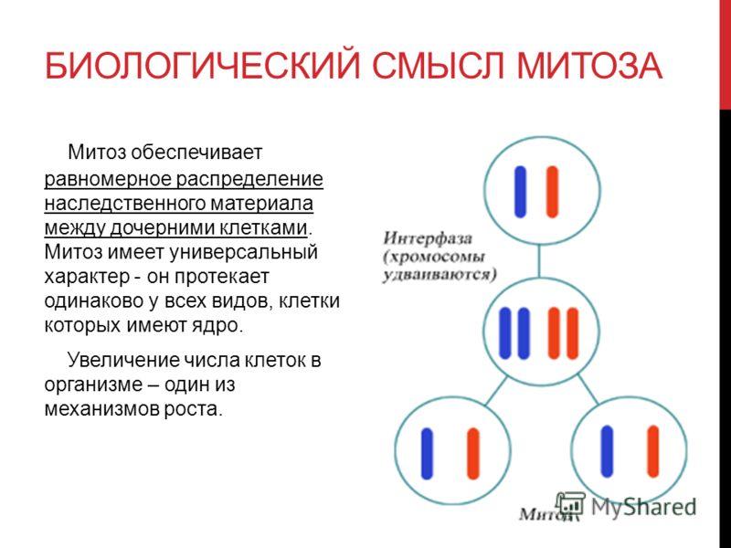 БИОЛОГИЧЕСКИЙ СМЫСЛ МИТОЗА Митоз обеспечивает равномерное распределение наследственного материала между дочерними клетками. Митоз имеет универсальный характер - он протекает одинаково у всех видов, клетки которых имеют ядро. Увеличение числа клеток в