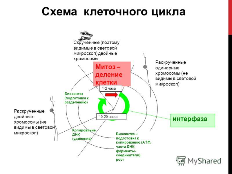 Схема клеточного цикла Раскрученные одинарные хромосомы (не видимы в световой микроскоп) Раскрученные двойные хромосомы (не видимы в световой микроскоп) Биосинтез – подготовка к копированию (АТФ, части ДНК, ферменты- соединители), рост Скрученные (по