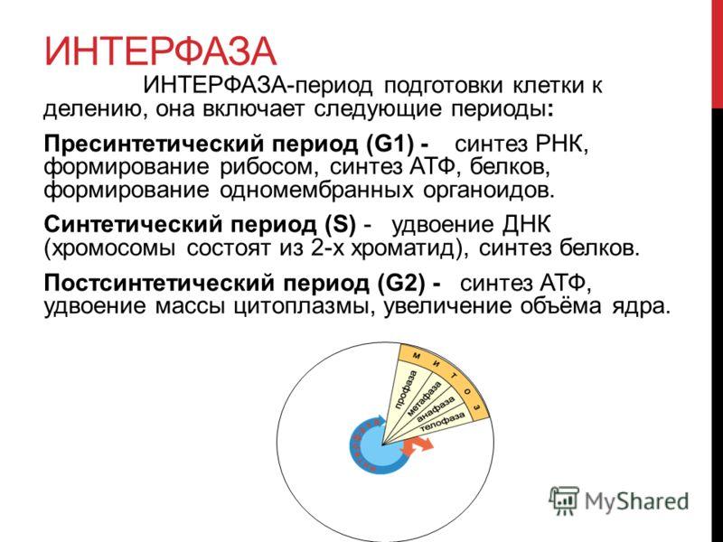 ИНТЕРФАЗА ИНТЕРФАЗА-период подготовки клетки к делению, она включает следующие периоды: Пресинтетический период (G1) - синтез РНК, формирование рибосом, синтез АТФ, белков, формирование одномембранных органоидов. Синтетический период (S) - удвоение Д