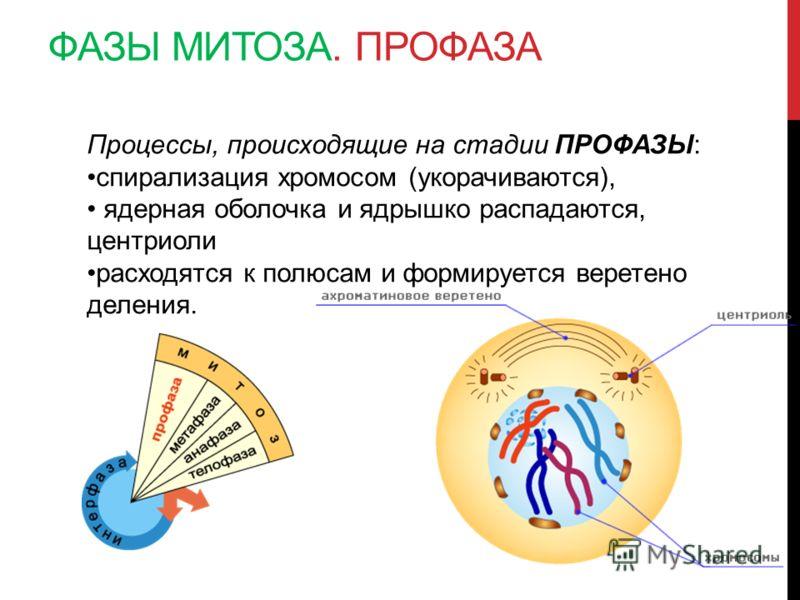 ФАЗЫ МИТОЗА. ПРОФАЗА Процессы, происходящие на стадии ПРОФАЗЫ: спирализация хромосом (укорачиваются), ядерная оболочка и ядрышко распадаются, центриоли расходятся к полюсам и формируется веретено деления.