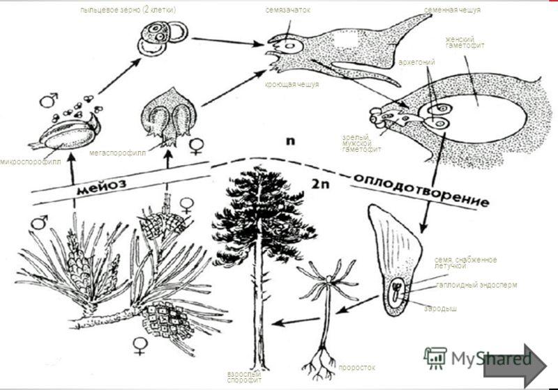 пыльцевое зерно (2 клетки)семязачаток архегоний проросток женский гаметофит семенная чешуя кроющая чешуя зрелый мужской гаметофит микроспорофилл взрослый спорофит семя, снабженное летучкой гаплоидный эндосперм зародыш мегаспорофилл