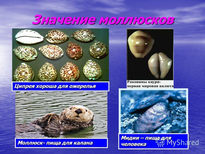 Значение моллюсков Ципрея хороша для ожерелья Моллюск- пища для калана Мидии – пища для человека