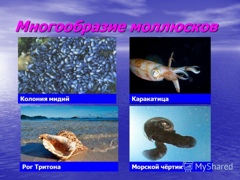 Многообразие моллюсков Колония мидийКаракатица Рог ТритонаМорской чёртик