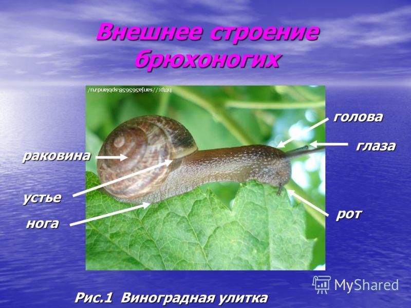 Внешнее строение брюхоногих Рис.1 Виноградная улитка раковина нога голова глаза рот устье