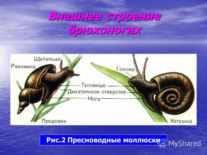 Внешнее строение брюхоногих Рис.2 Пресноводные моллюски