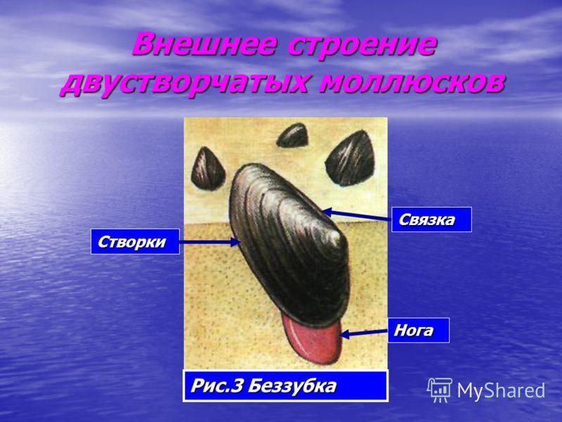 Внешнее строение двустворчатых моллюсков Рис.3 Беззубка Створки Связка Нога