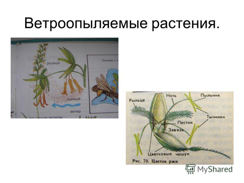 Ветроопыляемые растения.