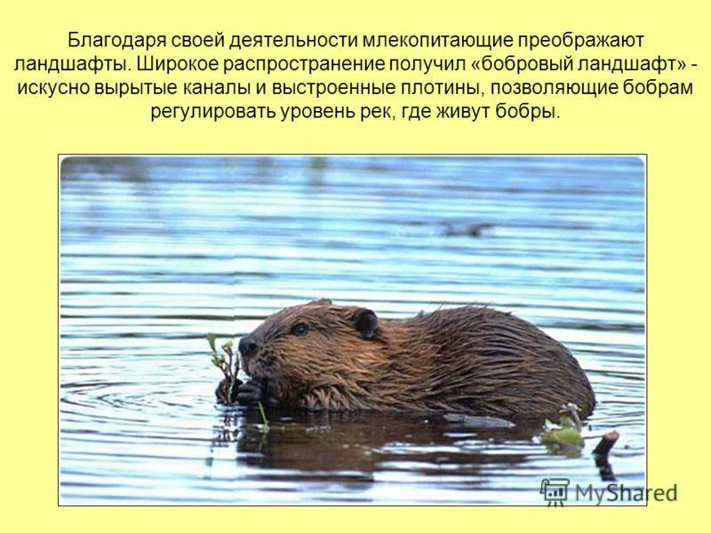 Благодаря своей деятельности млекопитающие преображают ландшафты. Широкое распространение получил «бобровый ландшафт» - искусно вырытые каналы и выстроенные плотины, позволяющие бобрам регулировать уровень рек, где живут бобры.