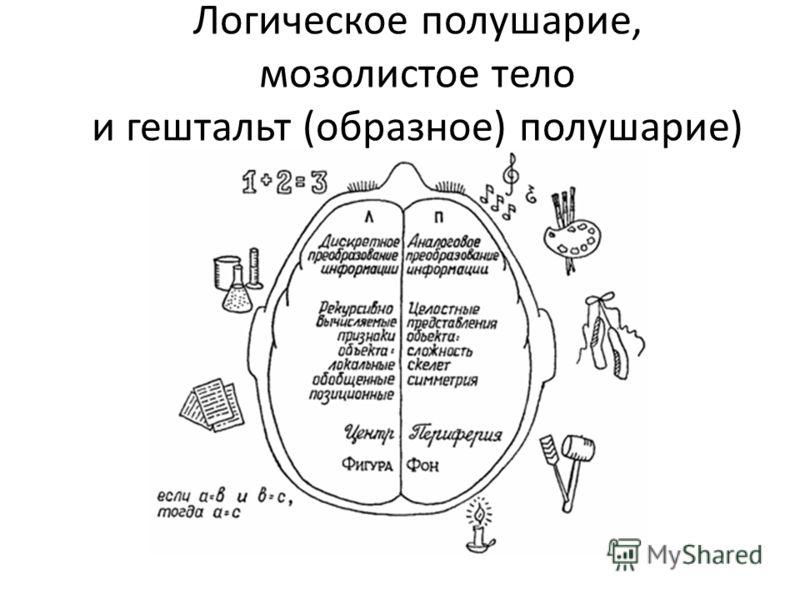 Логическое полушарие, мозолистое тело и гештальт (образное) полушарие)