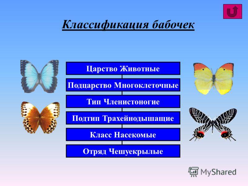 Царство Животные Подцарство Многоклеточные Тип Членистоногие Подтип Трахейнодышащие Класс Насекомые Отряд Чешуекрылые Классификация бабочек